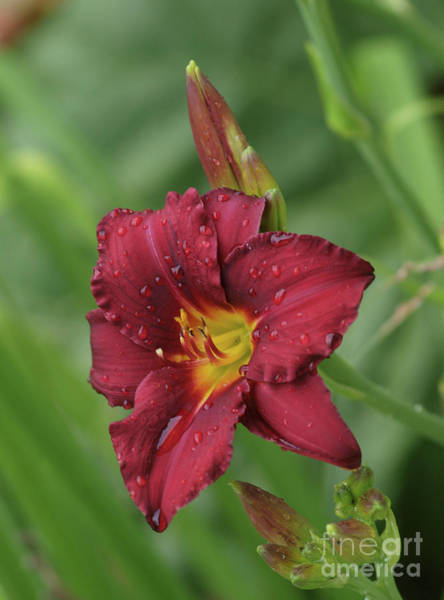 Photograph - Day Lily  by Vivian Martin