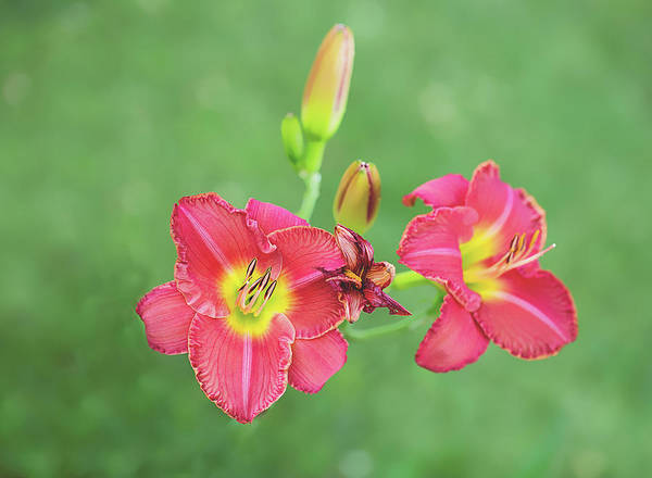 Photograph - Daylilies by Sue Collura