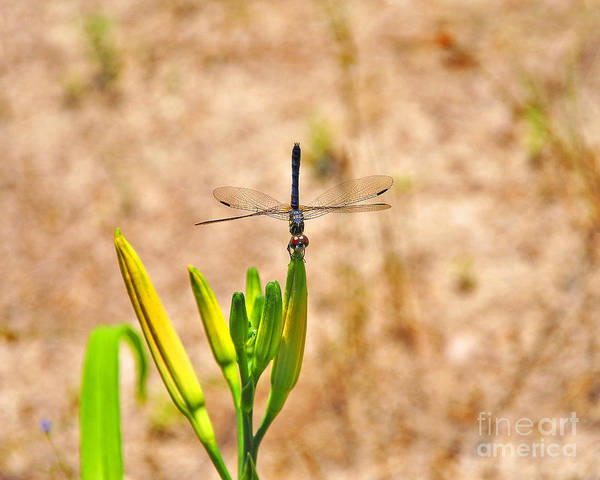 Dasher Photograph - Daylily Dragonfly by Al Powell Photography USA