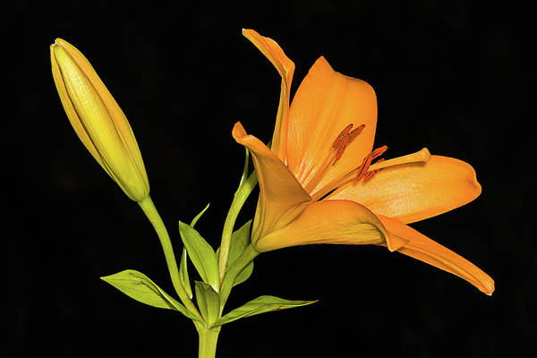 Photograph - Daylily Jewel by Dawn Currie