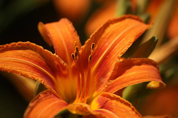 Photograph - Daylily by Pete Federico