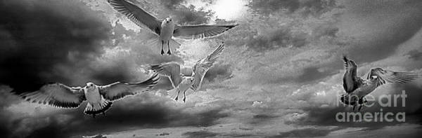 Photograph -  Daytona Beach Fl Gulls Stop Action Black And White by Tom Jelen