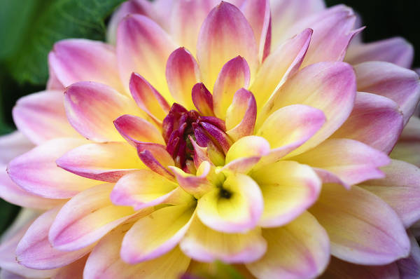 Photograph - Dazzling Dahlia by Christi Kraft