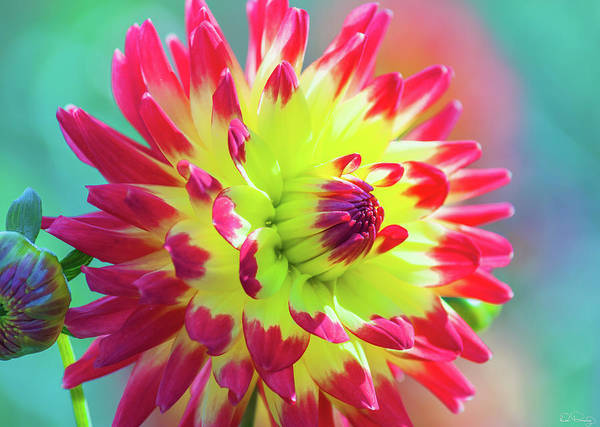 Photograph - Dazzling Dahlia  by Dee Browning