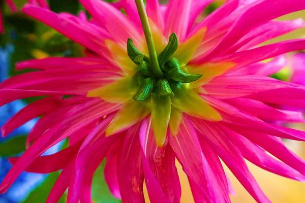 Photograph - Dazzling Dahlia From Behind by Polly Castor