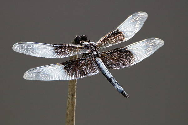 Photograph - Dazzling Dragonfly by Sheila Brown