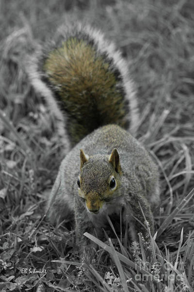 Photograph - Dc Squirrel by E B Schmidt