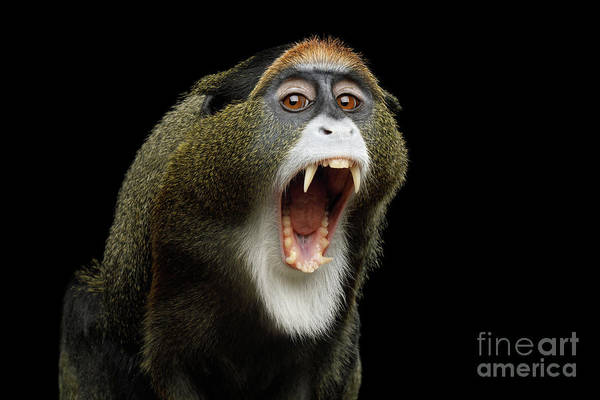 Photograph - De Brazza's Monkey Yawn by Sergey Taran