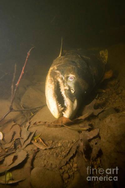 Chinook Salmon Photograph - Dead Chinook Salmon, Lake Ontario by Ted Kinsman