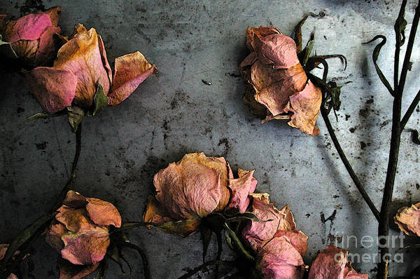 Photograph - Dead Roses 4 by Kathi Shotwell