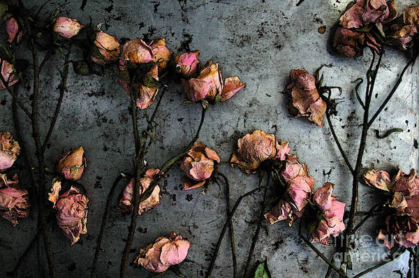Shotwell Photograph - Dead Roses 5 by Kathi Shotwell