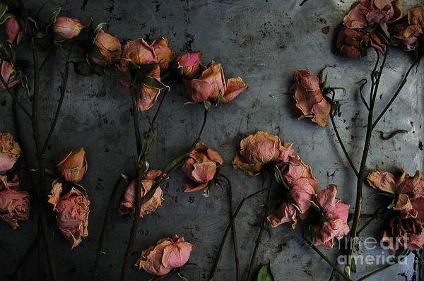 Photograph - Dead Roses 6 - Photo by Kathi Shotwell