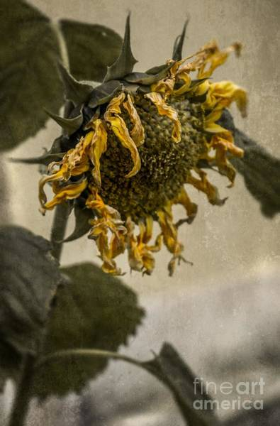 Unhappy Photograph - Dead Sunflower by Carlos Caetano