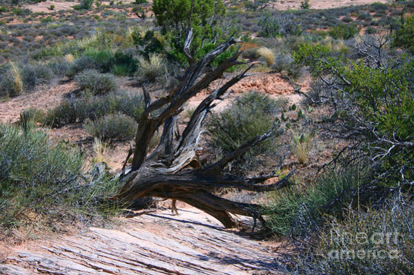 Wall Art - Painting - Dead Tree, Arches National Park by Corey Ford