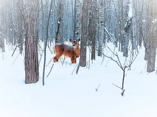 Photograph - Deer In Winter by A Dufresne