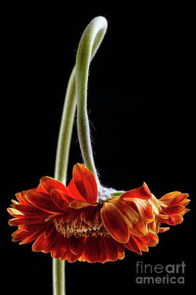 Gerbera Photograph - Death Becomes Her by John Edwards