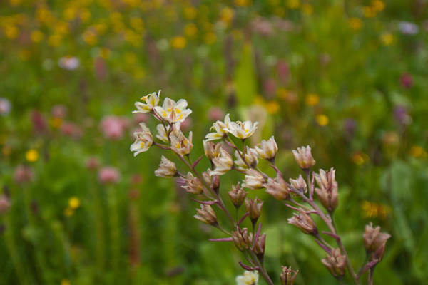 Photograph - Death Camas With Wildflower Meadow Background by Cascade Colors