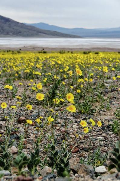 Photograph - Death Valley Super Bloom by Gaelyn Olmsted