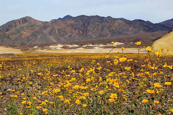 Death Valley Photograph - Death Valleys Rare Super Bloom by Donna Kennedy