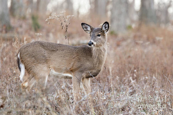 Photograph - December Doe by Andrea Silies
