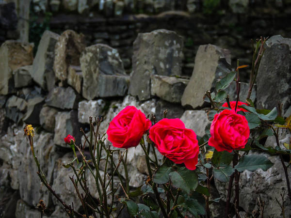 Photograph - December Roses At Ballycorick by James Truett