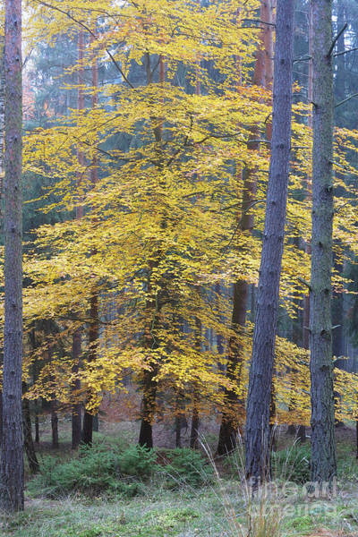 Woodland Wall Art - Photograph - Deciduous Tree In The Spruce Forest In Autumn by Michal Boubin