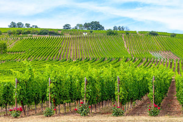 Wall Art - Photograph - Decorated Vineyards by W Chris Fooshee