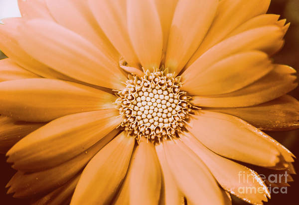 Daisy Flower Photograph - Decorative Closeness by Jorgo Photography - Wall Art Gallery