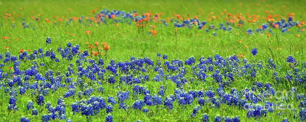 Photograph - Decorative Texas Bluebonnet Meadow Photo A32517 by Mas Art Studio