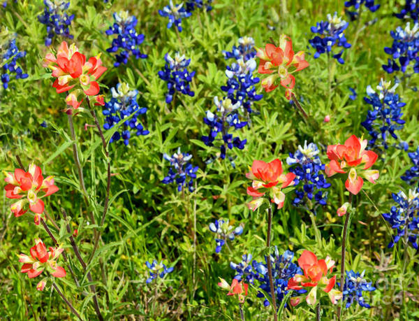 Photograph - Decorative Texas Bluebonnets Meadow Digital Photo G33117 by Mas Art Studio