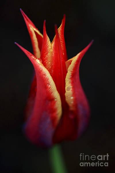 Photograph - Decorative Tulip by Deborah Benoit