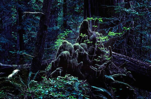 Furon Photograph - Deep In The Redwood Grove #2 by Daniel Furon