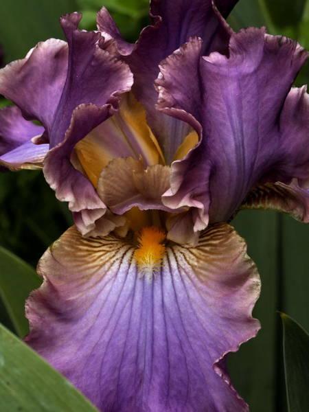 Deep Lavender Iris Art Print