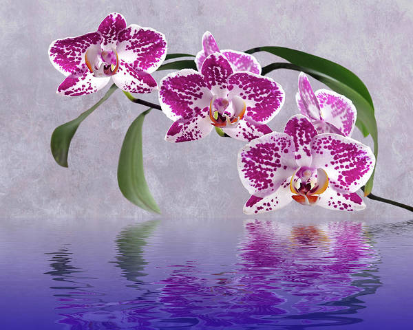 Cerise Photograph - Deep Pink Orchid Reflections by Gill Billington