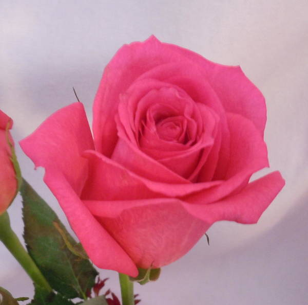 Photograph - Single Deep Pink Rose by Karen J Shine