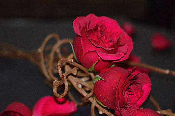 Photograph - Deep Pink Roses by Diana Mary Sharpton