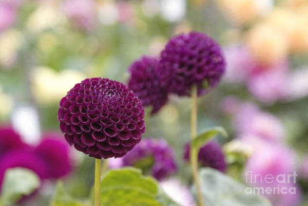 Photograph - Deep Purple Dahlias by Cindy Garber Iverson