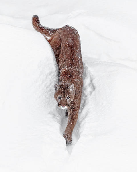 Photograph - Deep Snow Cougar by Wes and Dotty Weber