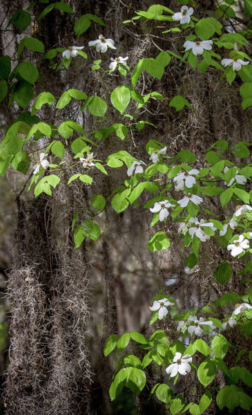Photograph - Deep South Dogwood by James Woody