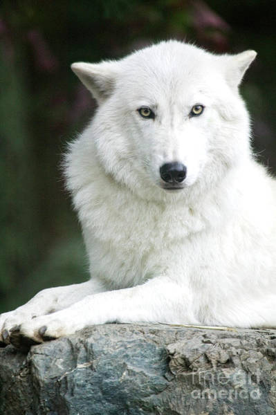 Photograph - White Wolf by Scott Kemper