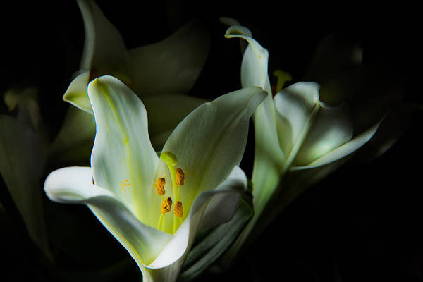 Photograph - Deep White Lily by Dennis Dame
