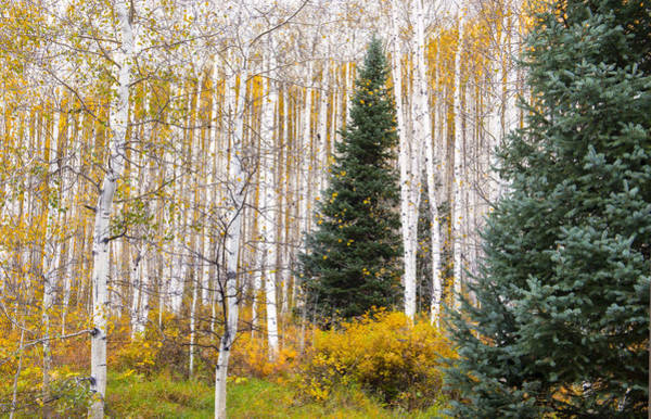 Wall Art - Photograph - Deep Within The Aspen Forest by Tim Reaves