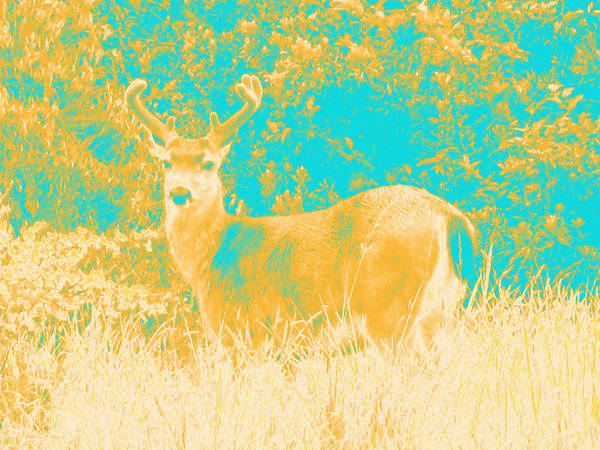Photograph - Deer #1 by Anne Westlund