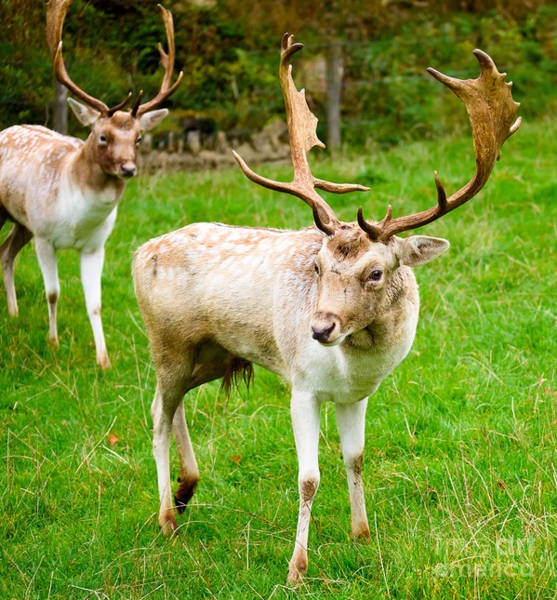 Photograph - Deer At Dyrham Park by Colin Rayner