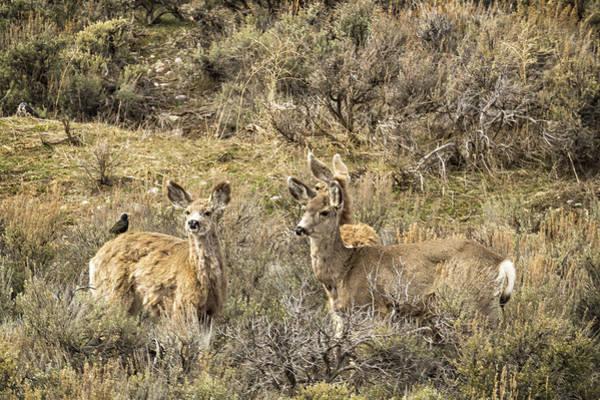 Photograph - Deer At Gros Ventre by Belinda Greb