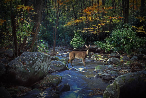 Photograph - Deer Crossing A Stream At Roaring Forks by Randall Nyhof