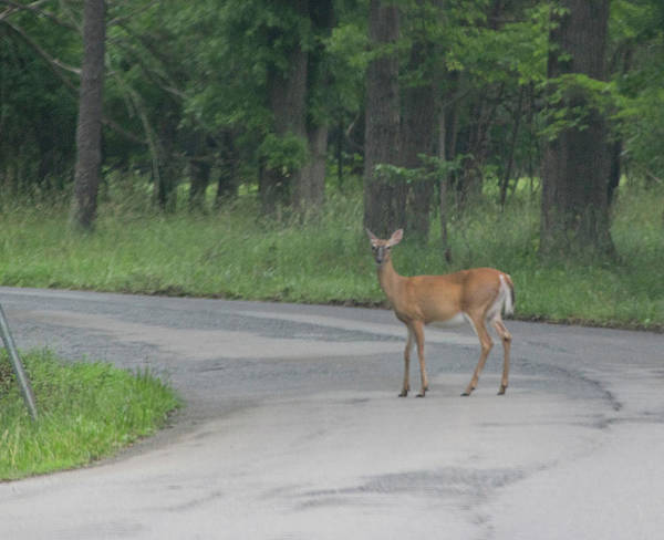 Photograph - Deer Crossing by Buddy Scott