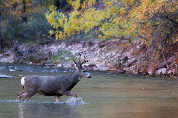 Deer Crossing River Art Print