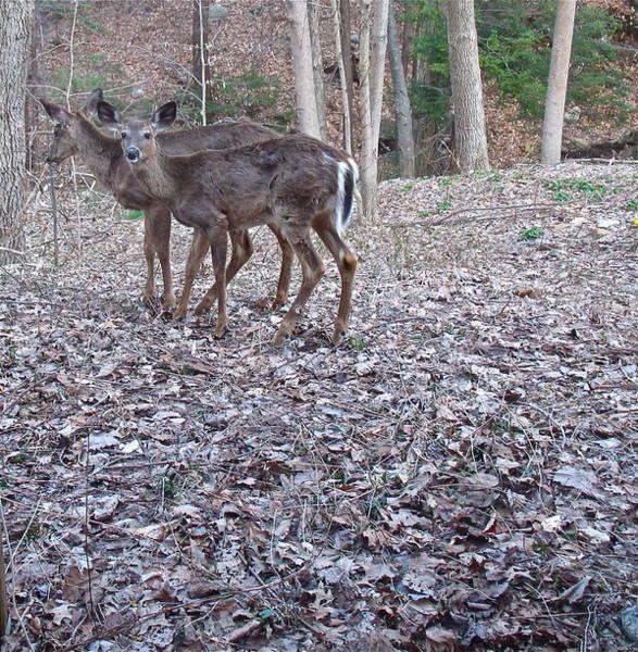 Photograph - Deer Deer Me  -comp- by Cliff Spohn