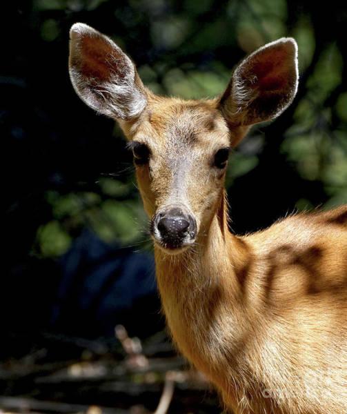 Photograph - Deer Ears by Sue Harper
